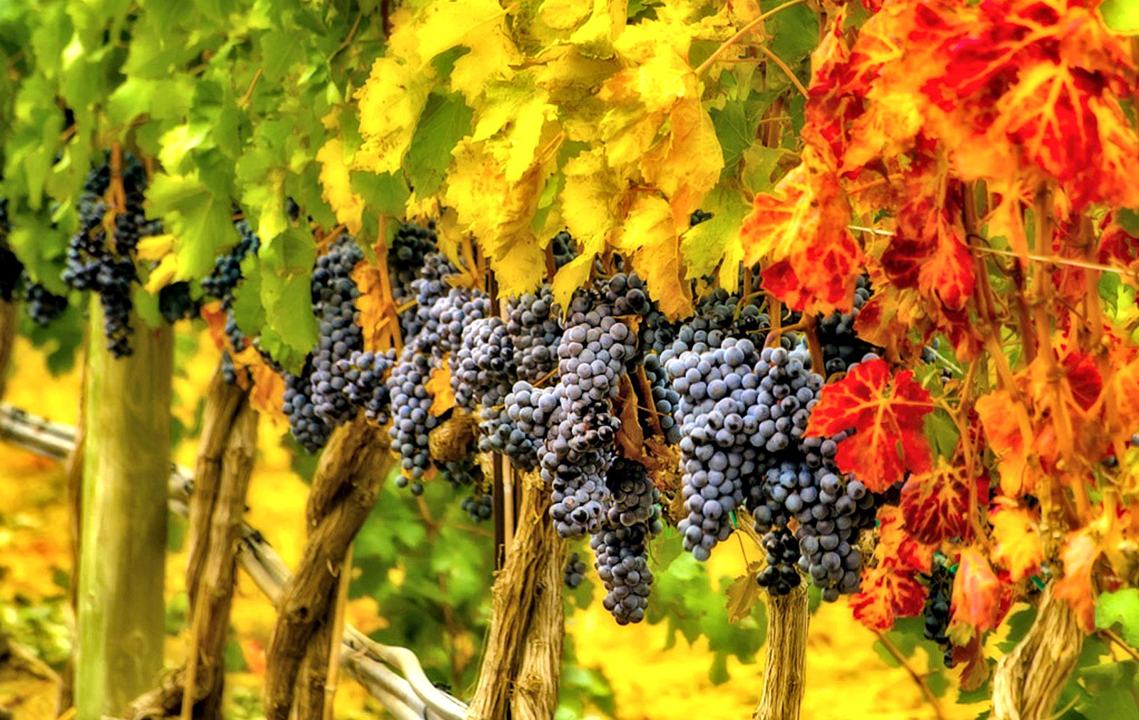 Image of Wine Vine with Ripe Grapes in Fall